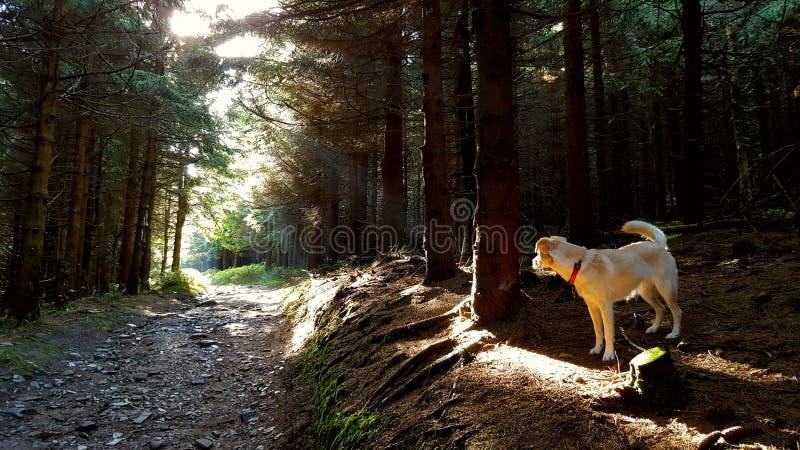 Chien dans la forêt image stock