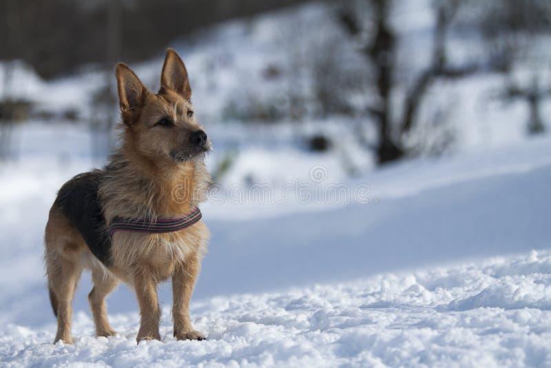 Chien dans la neige image stock