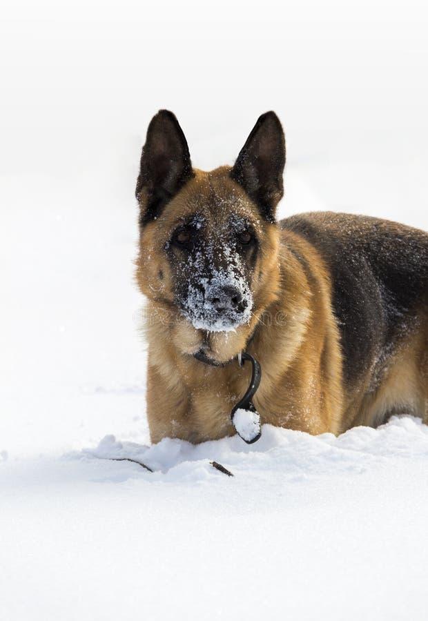 Chien dans la neige photos libres de droits