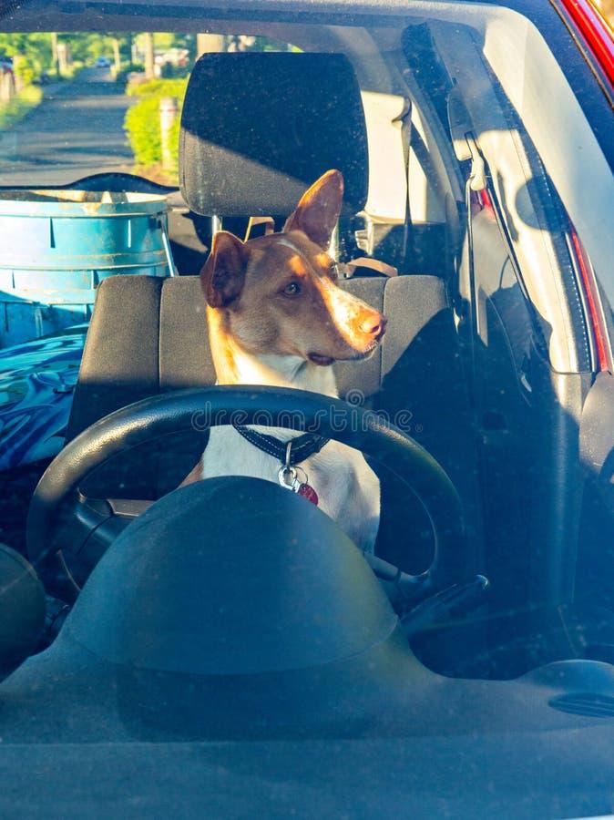 Chien dans la voiture derrière le volant et le pare-brise photographie stock libre de droits