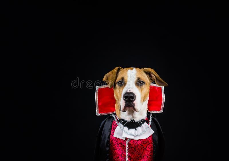 Chien dans le costume de Halloween photographie stock libre de droits