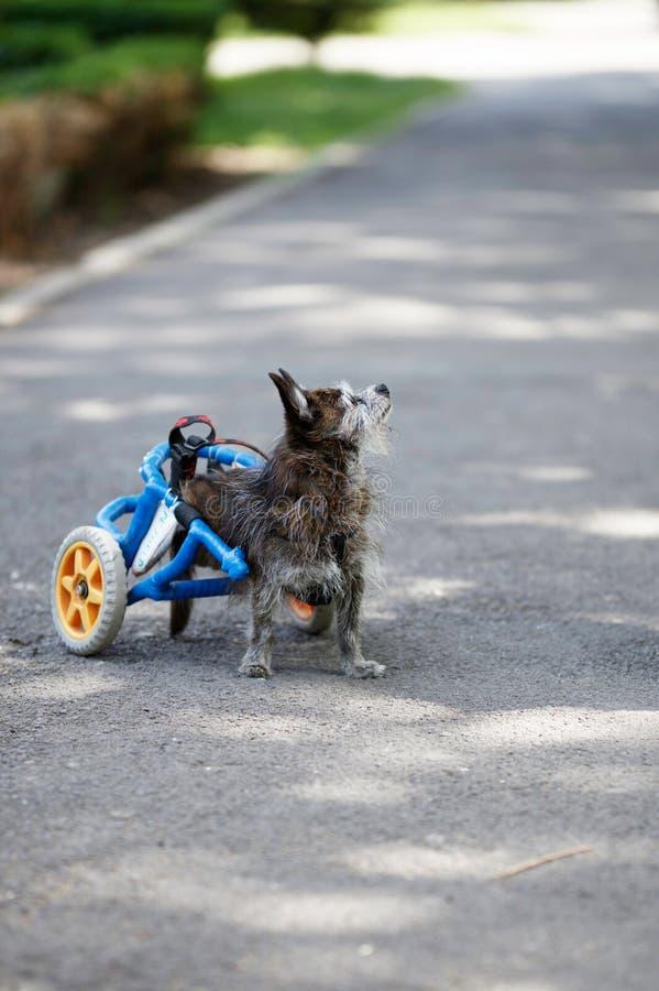 Chien dans le fauteuil roulant regardant son maître photographie stock libre de droits