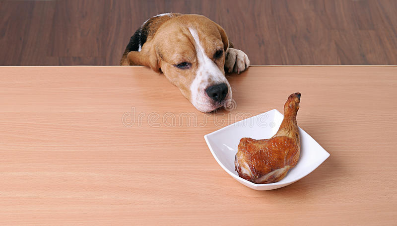 Chien dans le plat avant sur la table et regarder le poulet de morceau image libre de droits