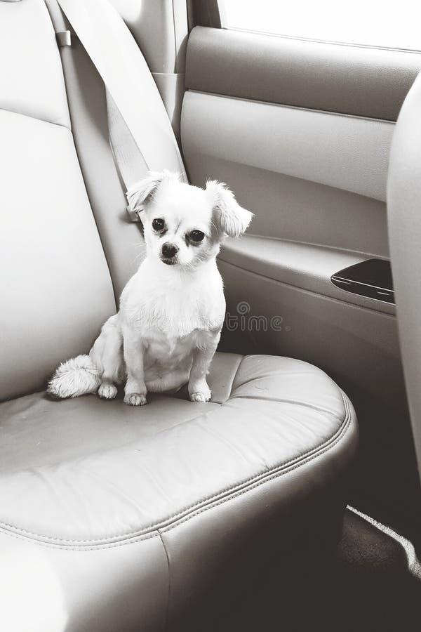 Chien dans le siège arrière de la voiture photographie stock libre de droits