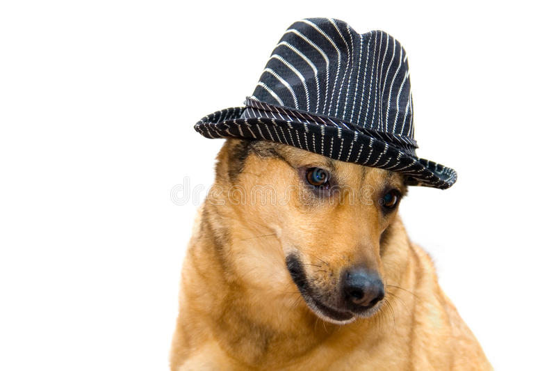 Chien dans un chapeau photo libre de droits