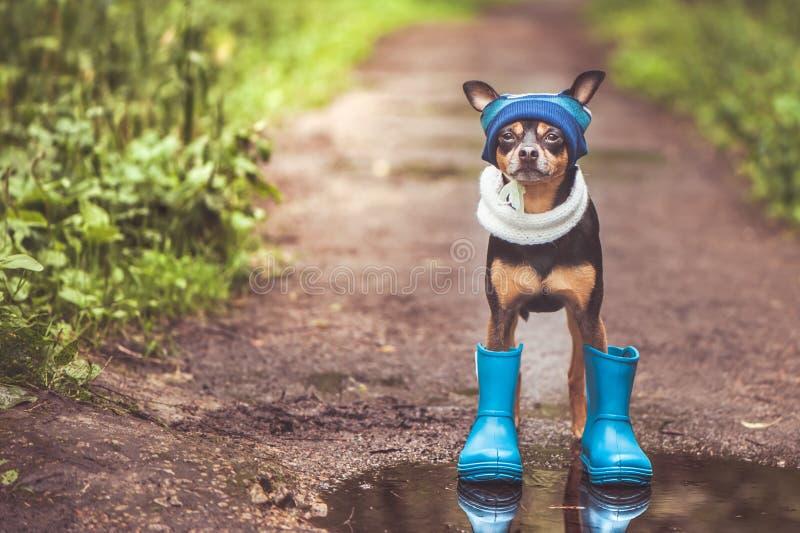 Chien dans un chapeau et des bottes en caoutchouc se tenant dans un magma sur un chemin forestier, le thème du temps pluvieux, l' photographie stock libre de droits