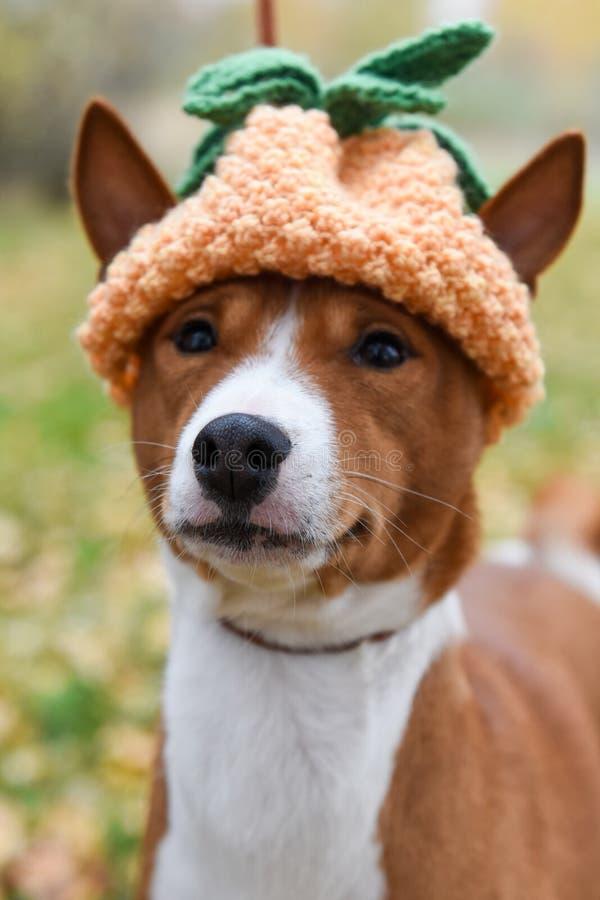 Chien dans un chapeau tricoté drôle sous forme d'ananas pendant Noël ou la nouvelle année ou pour une partie image stock