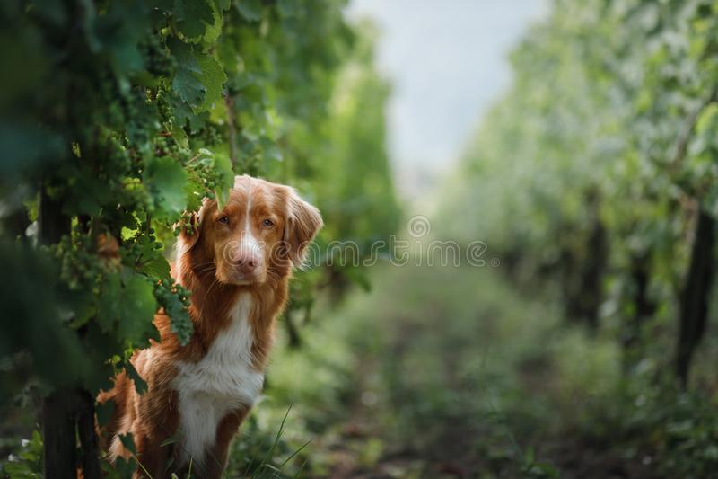 Chien dans un vignoble en nature Un animal familier pendant l'été, un toller Peu de profil de crabot de fleuve photos libres de droits