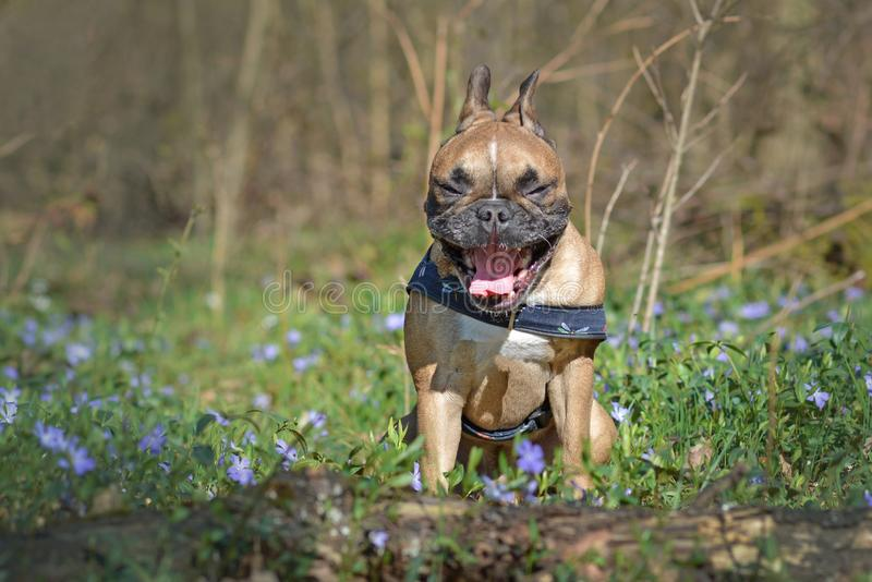 Chien de baîllement drôle de bouledogue français avec la séance grande ouverte de bouche dans la forêt parmi des fleurs de ressor photos libres de droits