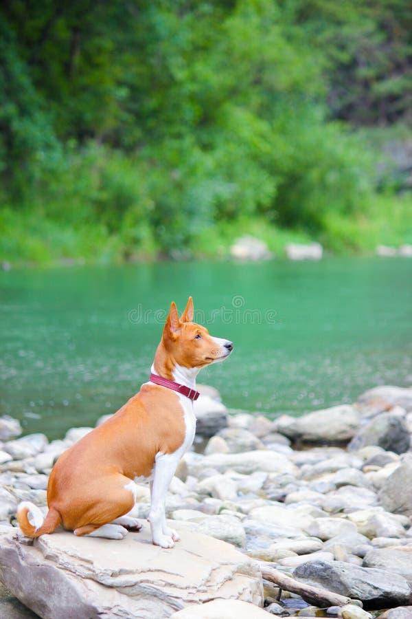 Chien de Basenji sur la rivière Chien magnifique de race photographie stock