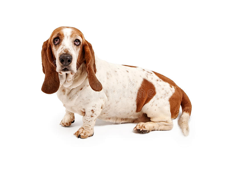Chien de basset photo stock
