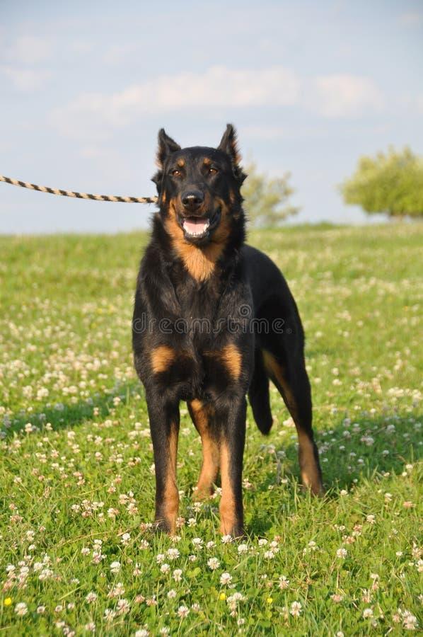 Download Chien de Beauceron photo stock. Image du canin, animal - 56484774