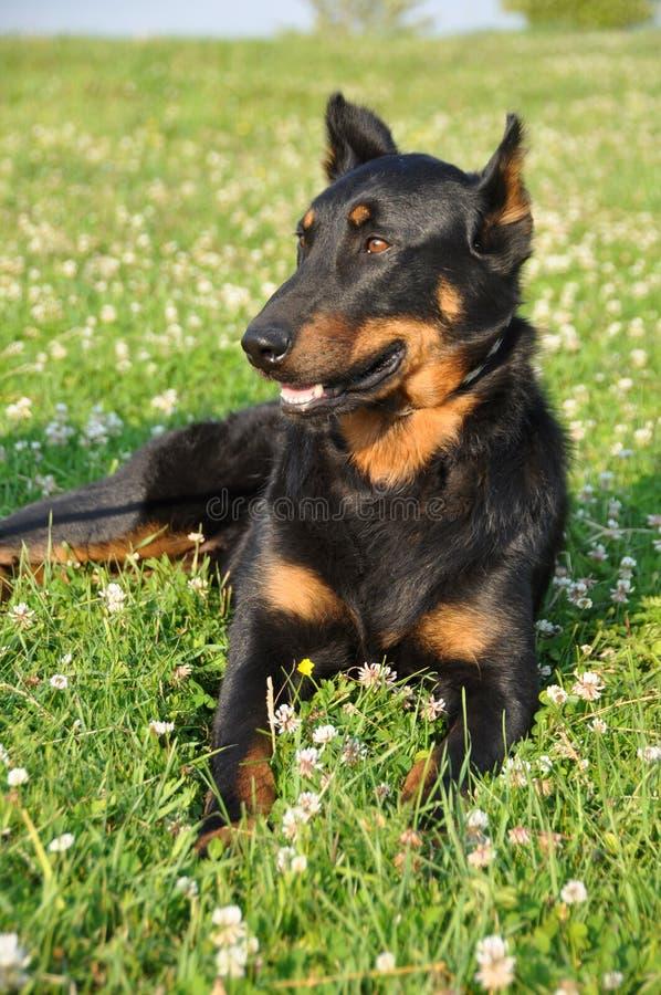 Download Chien de Beauceron image stock. Image du outdoors, chasse - 56485095