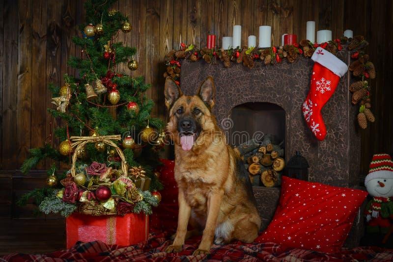 Chien de berger allemand pour Noël photographie stock libre de droits