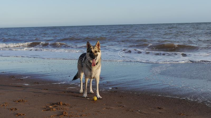 Chien de berger allemand sur le tideline d'une plage photos stock