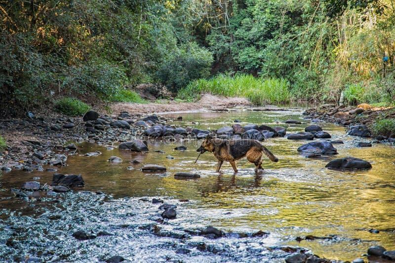 Chien de berger allemand tout en courant en rivière image libre de droits