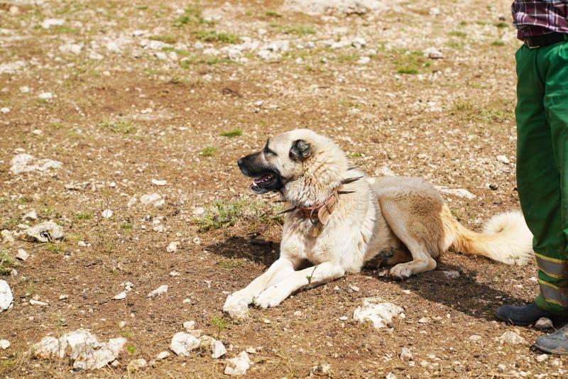 Chien de berger anatolien avec le collier de fer pointu photos libres de droits