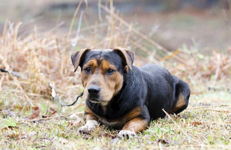 Chien de chien de berger de Basset Hound avec le coutil sur le front image stock