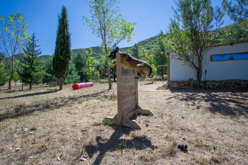 Chien de berger belge sur la nature image libre de droits