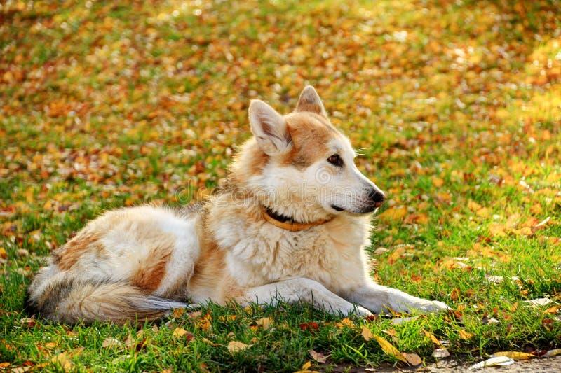 Chien de berger brun blanc se trouvant sur des feuilles d'herbe et d'autunm photographie stock