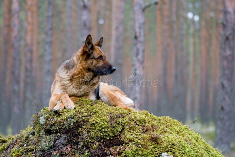 Chien de berger de l'Allemagne photo stock