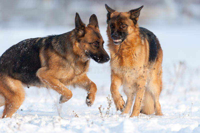 Chien de berger deux dans le domaine de neige photographie stock