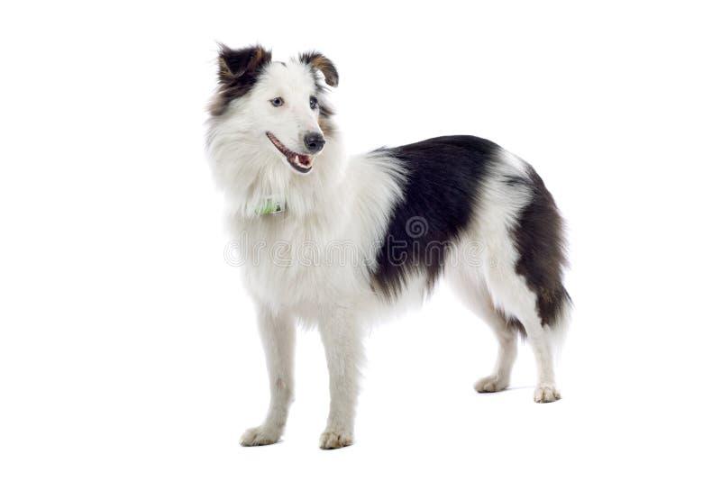 chien de berger les îles Shetland de profil image stock
