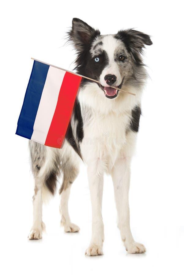 Chien de border collie avec le drapeau français photographie stock libre de droits