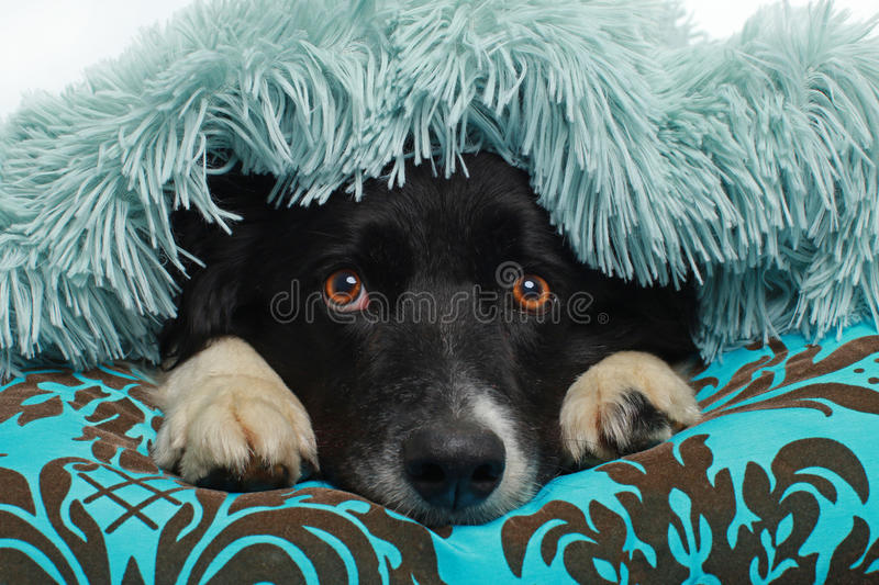 Chien de border collie couvert de couverture molle images stock