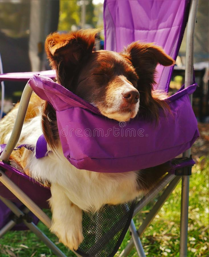 Chien de border collie, rouge et blanc, dormant sur la chaise pourpre images stock