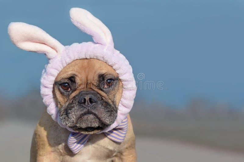 Chien de bouledogue français habillé avec le bandeau et le ruban de costume de lapin de Pâques photographie stock libre de droits