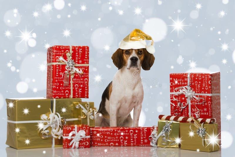 Chien de briquet avec des cadeaux de Noël photos libres de droits