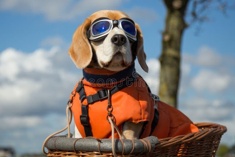 Chien de briquet portant les lunettes volantes bleues image libre de droits