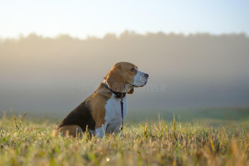 Chien de briquet sur une promenade un matin d'automne dans le brouillard photographie stock libre de droits
