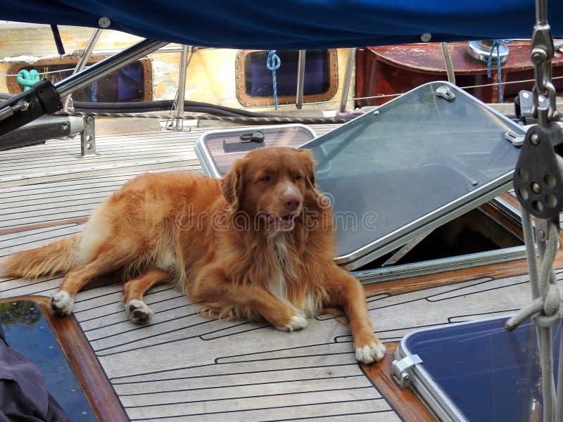 Chien de Brown dans le bateau de navigation, Lithuanie photographie stock libre de droits