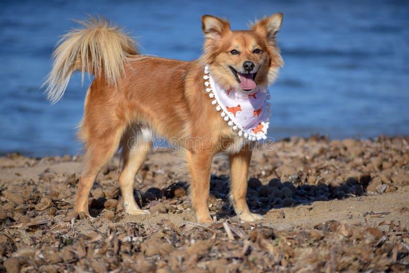 Chien de Brown marchant dans la plage très heureuse photos libres de droits