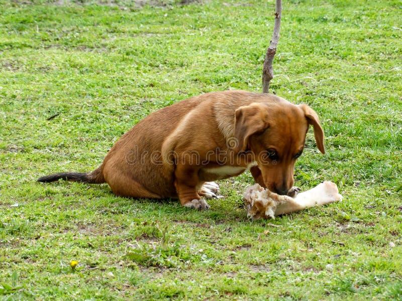 Chien de Brown - petit chien et grand os images stock