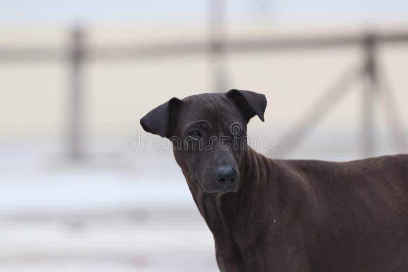 Chien de brun foncé se tenant au sol concret un mammifère carnivore domestiqué qui a typiquement un long museau image libre de droits