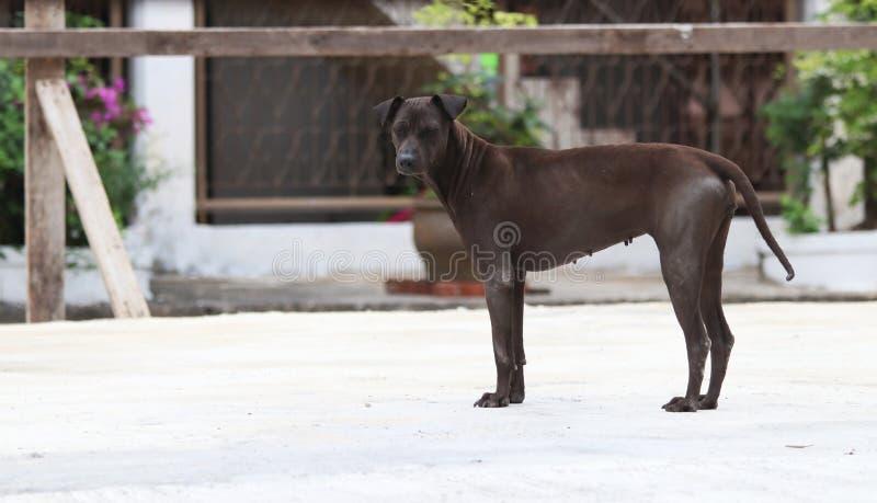 Chien de brun foncé se tenant au sol concret un mammifère carnivore domestiqué qui a typiquement un long museau photo libre de droits