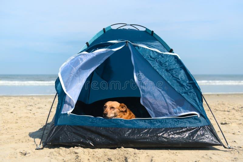 Chien de camping avec tente à la plage photographie stock