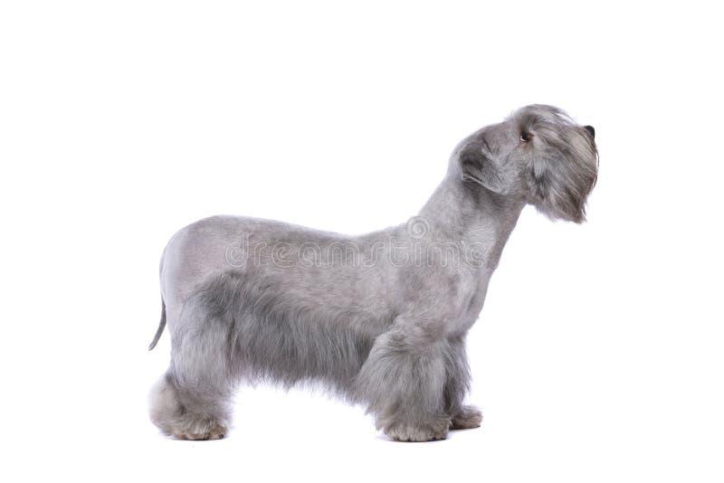 Chien de Cesky Terrier photos stock