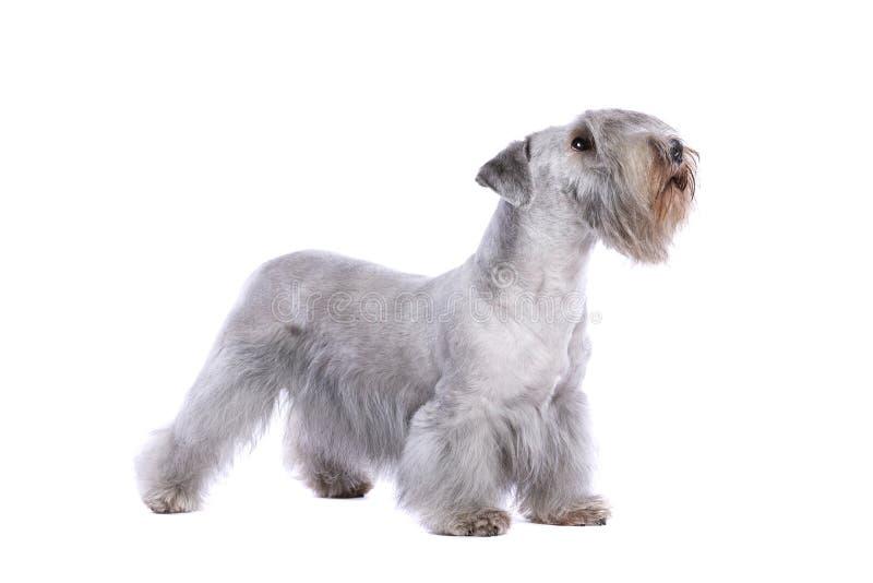 Chien de Cesky Terrier photos libres de droits