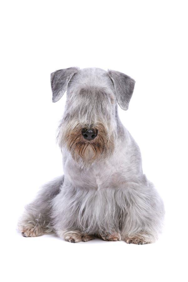 Chien de Cesky Terrier images libres de droits