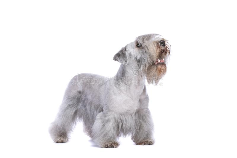 Chien de Cesky Terrier photographie stock libre de droits