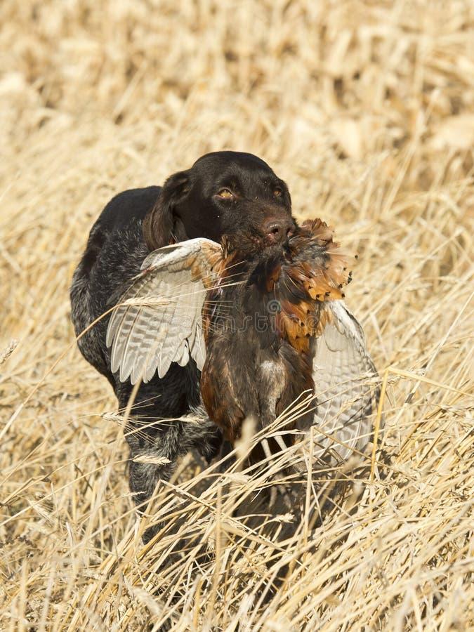 Chien de chasse avec un faisan photographie stock