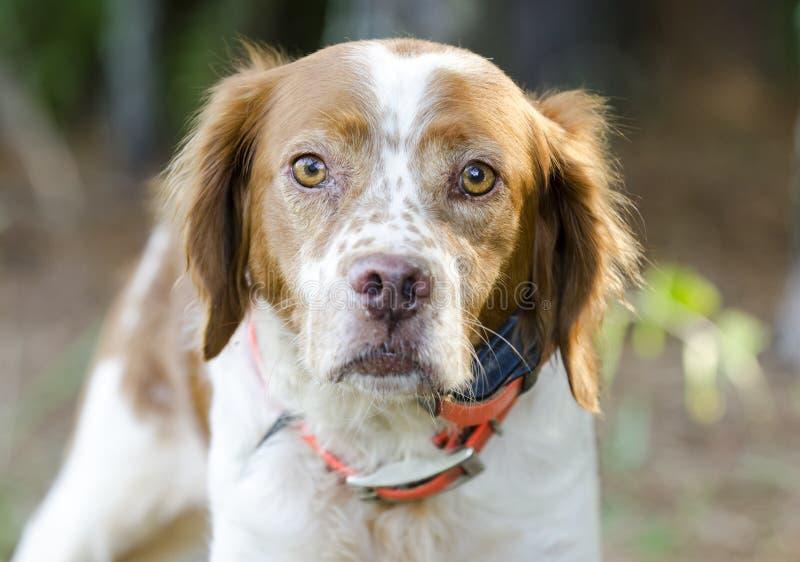 Chien de chasse de Brittany Spaniel avec le collier de cheminement orange de sécurité image stock