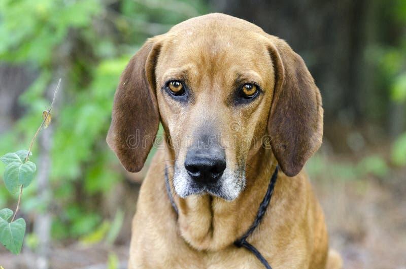 Chien de chasse de Coonhound de Redbone, photo d'adoption d'animal familier de refuge pour animaux images stock