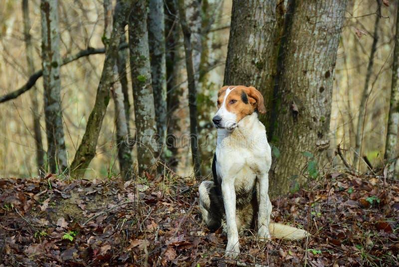 Chien de chasse dans la forêt image libre de droits