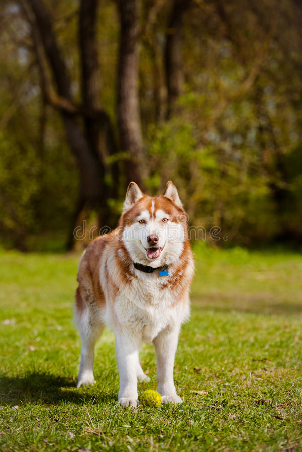 Chien de chien de traîneau sibérien de Brown photos stock
