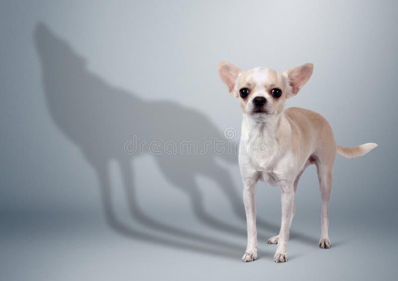 Chien de chiwawa avec l'ombre de loup, concept animal de caractère photo libre de droits